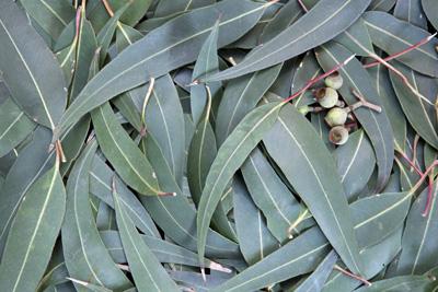 Eucalyptus-
