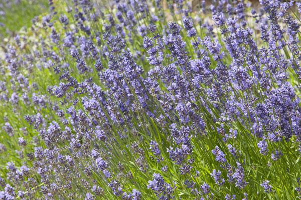 guestpost  Lavender Guest Post: Φυσικές Συνταγές Υγείας και Ομορφιάς!