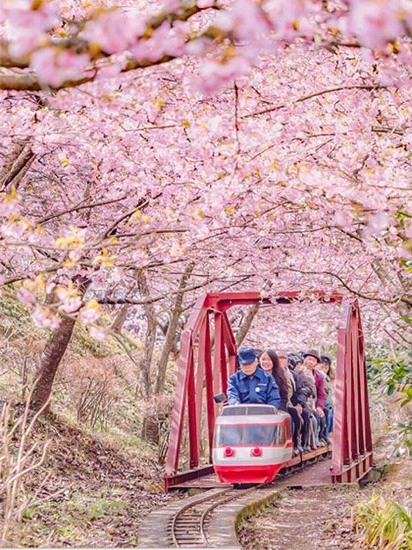 cherry-japan