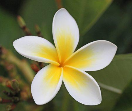 frangipani-