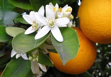 orange-blossoms-