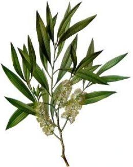 guestpost  tea tree1 Guest Post: Φυσικές συνταγές, για πανάδες και ακμή.