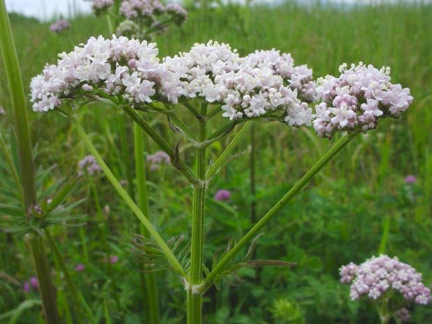 valeriana-officinalis-